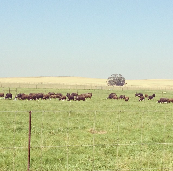 Disease-free Buffalo breeding project